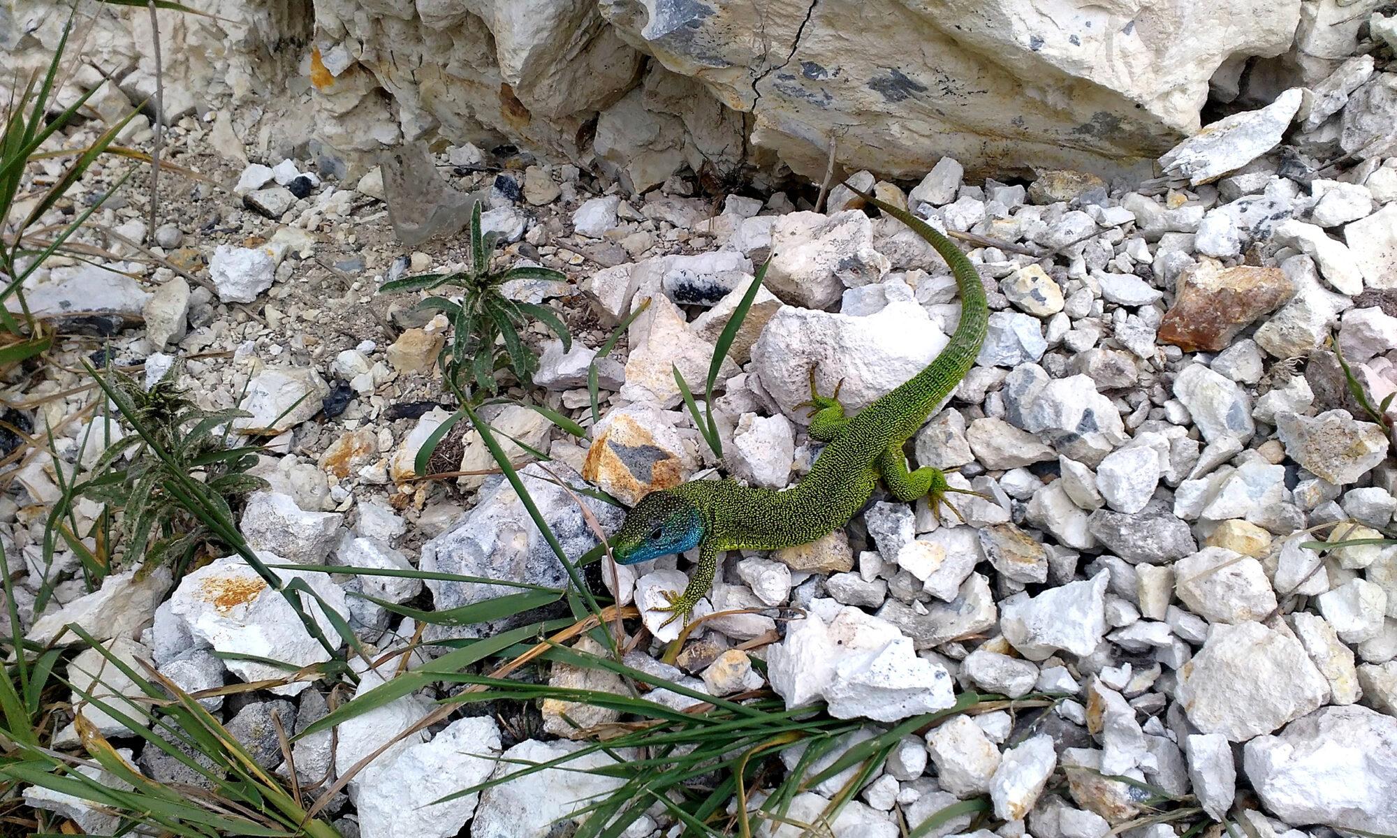 Тарарін Андрій (ящірка зелена)